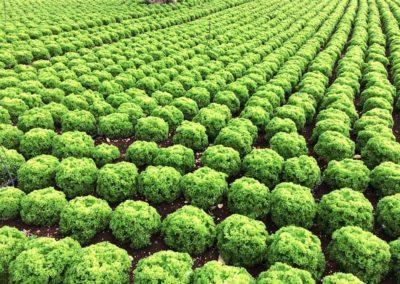 coltivazioni-insalata-mediterran-trade